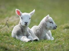 如何进行羔羊的护理和培育?
