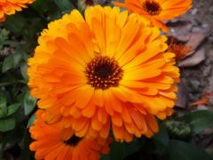 金盏菊怎样采种和播种育苗?