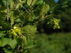 榛子怎样剪枝?榛子树栽培要点有哪些?