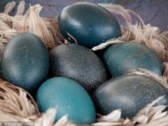 鸸鹋蛋有哪些价值? 鸸鹋蛋如何孵化?
