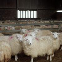 绵羊为什么要进行选种?绵羊选种的根据有哪些?