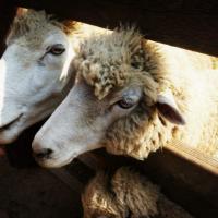 绵羊如何进行选种工作?
