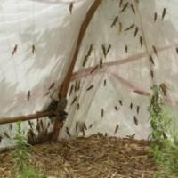 蚂蚱如何养殖?吃蚂蚱有什么好处?
