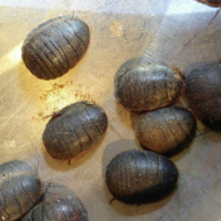 土鳖虫如何养殖?哪些人不能食用土鳖虫?