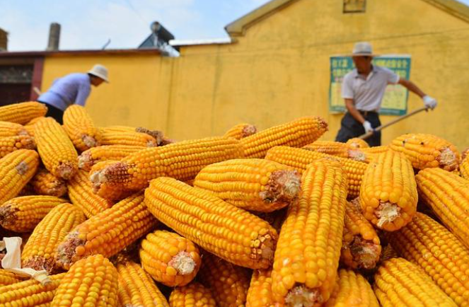 多国限制售粮,5月份玉米价位能够突破1.3元吗?